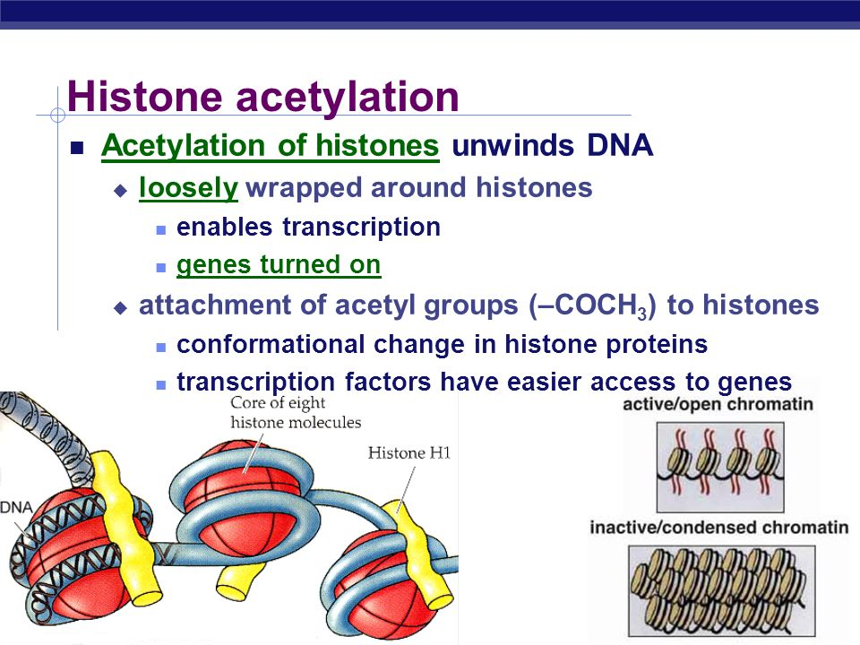 Histone acetylation Acetylation of histones unwinds DNA