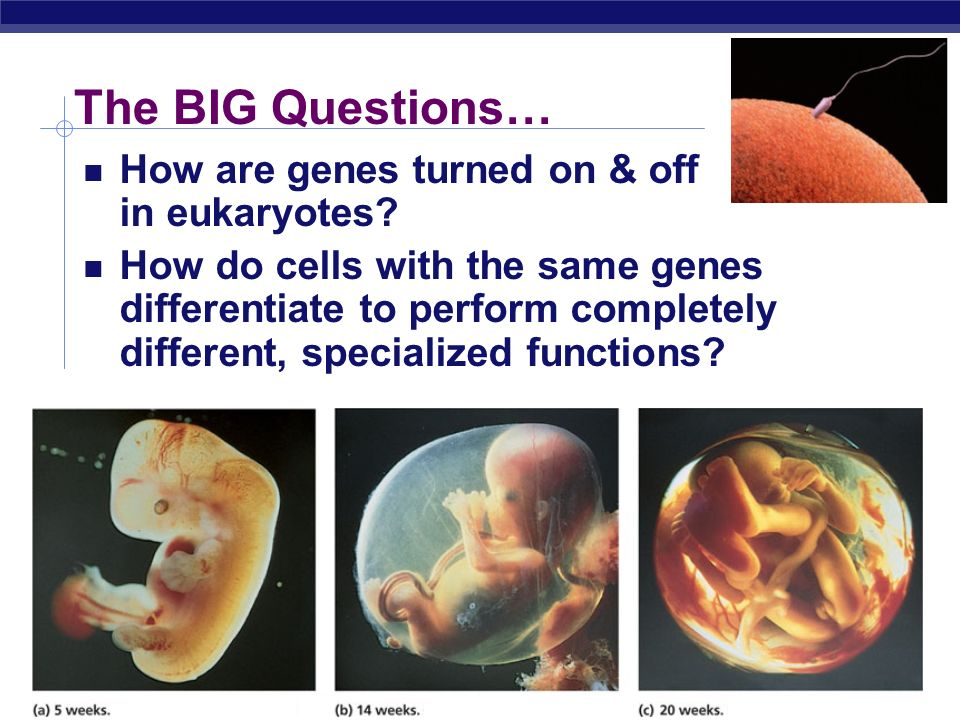 The BIG Questions… How are genes turned on & off in eukaryotes