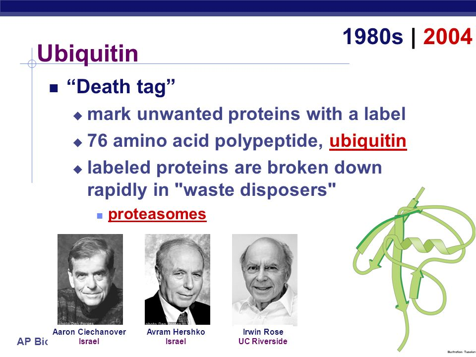 Ubiquitin 1980s | 2004 Death tag mark unwanted proteins with a label