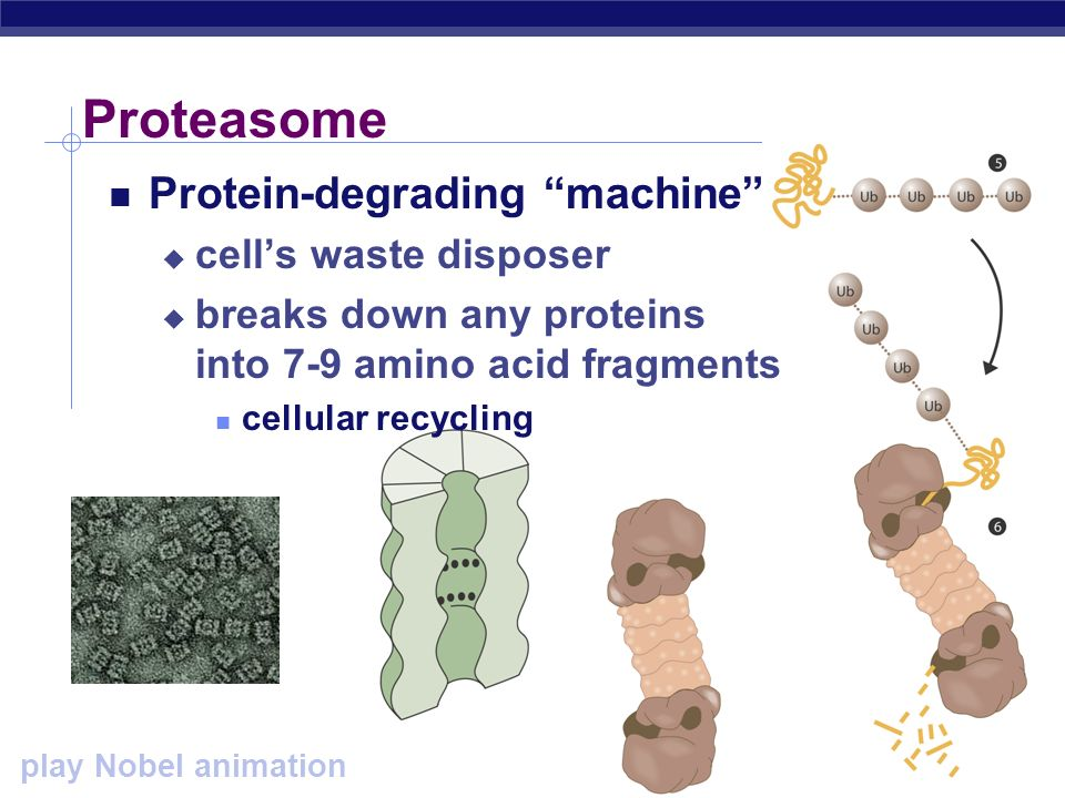 Proteasome Protein-degrading machine cell's waste disposer