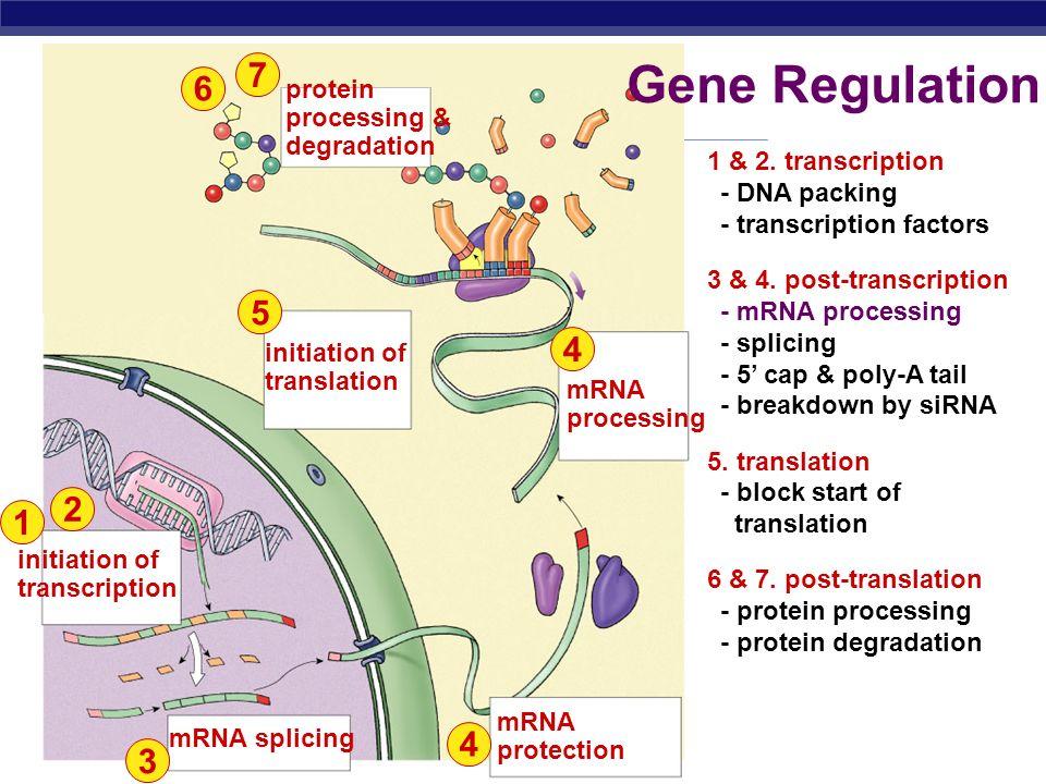Gene Regulation 7 6 5 4 2 1 4 3 protein processing & degradation
