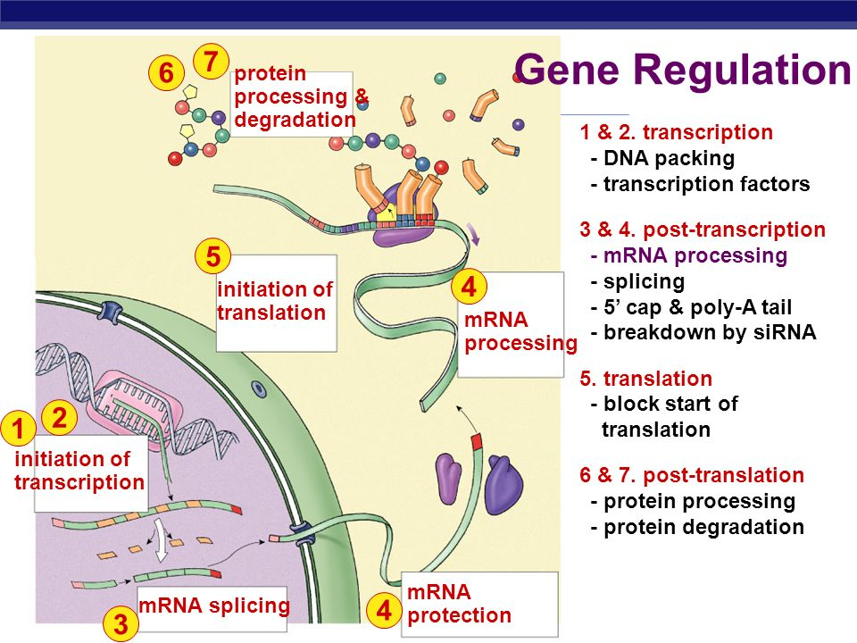 Gene Regulation protein processing & degradation