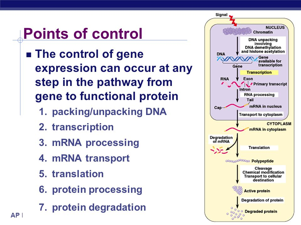 Points of control The control of gene expression can occur at any step in the pathway from gene to functional protein.