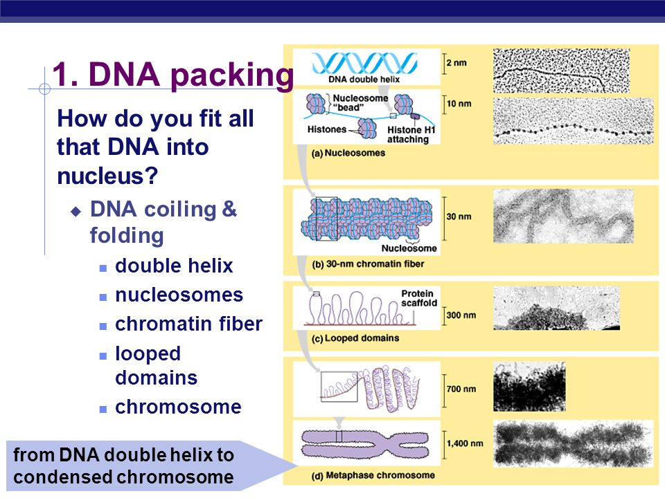 1. DNA packing How do you fit all that DNA into nucleus