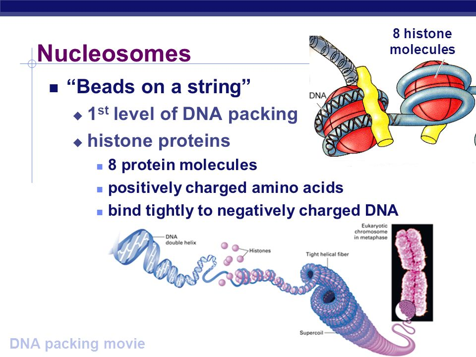 Nucleosomes Beads on a string 1st level of DNA packing