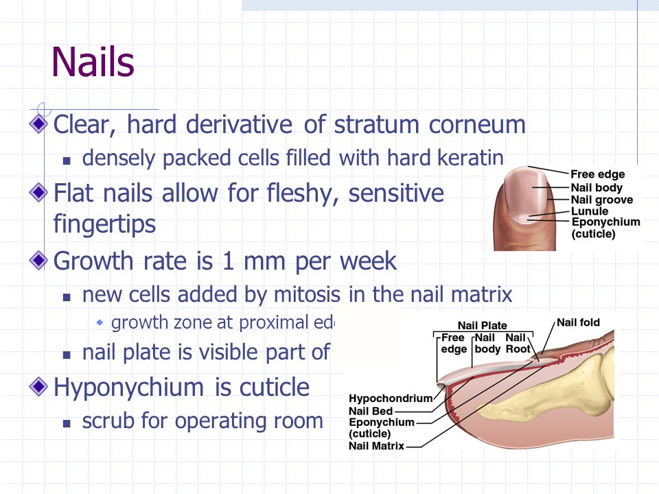 Nails Clear, hard derivative of stratum corneum