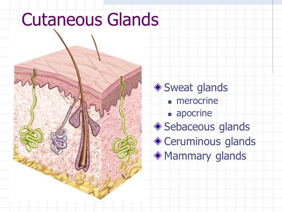Cutaneous Glands Sweat glands Sebaceous glands Ceruminous glands