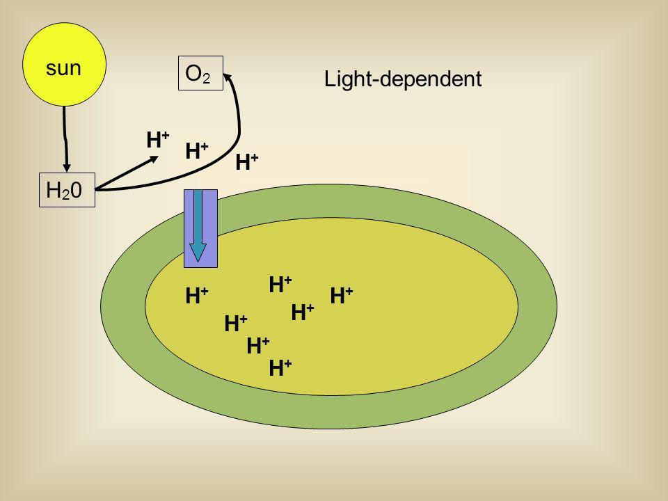 sun O2 Light-dependent H+ H+ H20 H+