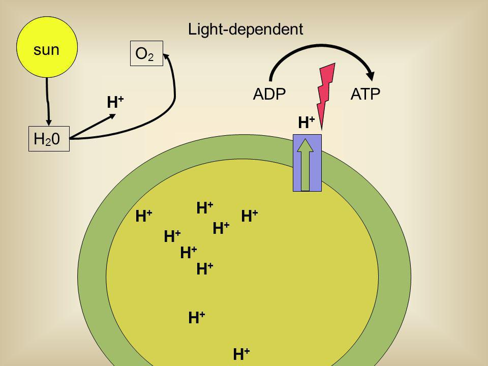 Light-dependent sun sun O2 ADP ATP H+ H+ H20 H+