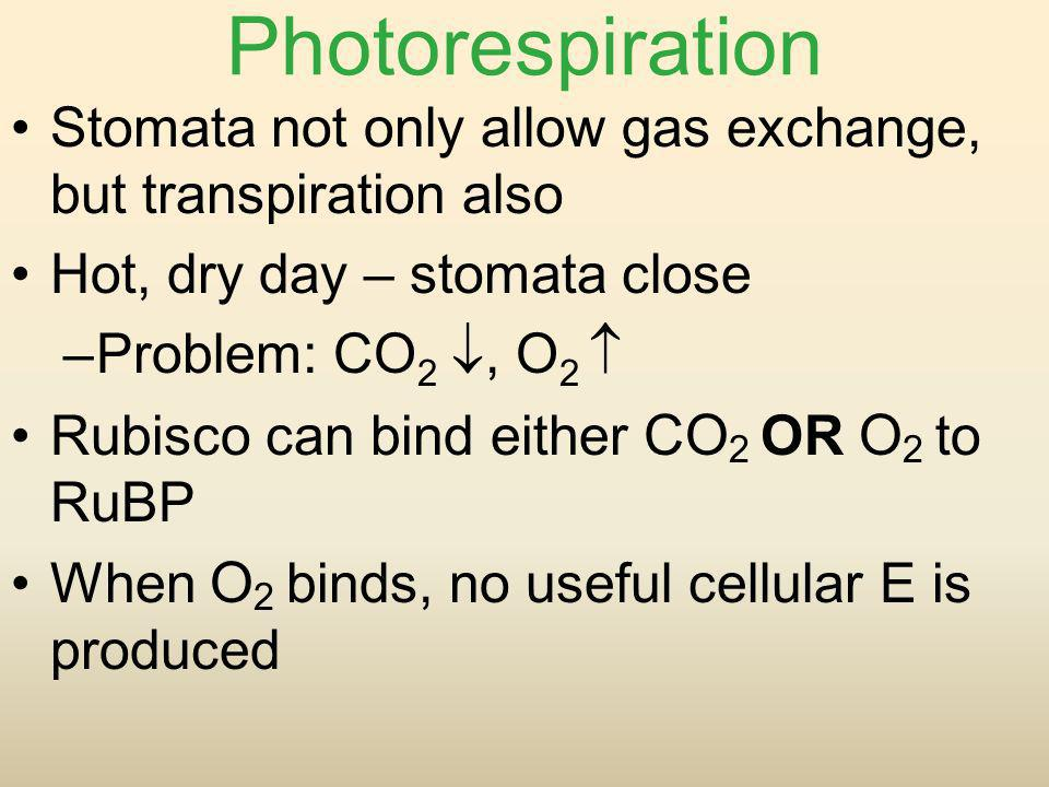 Photorespiration Stomata not only allow gas exchange, but transpiration also. Hot, dry day – stomata close.