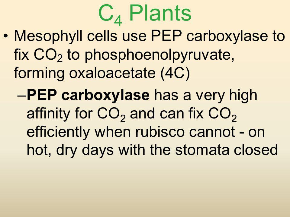 C4 Plants Mesophyll cells use PEP carboxylase to fix CO2 to phosphoenolpyruvate, forming oxaloacetate (4C)