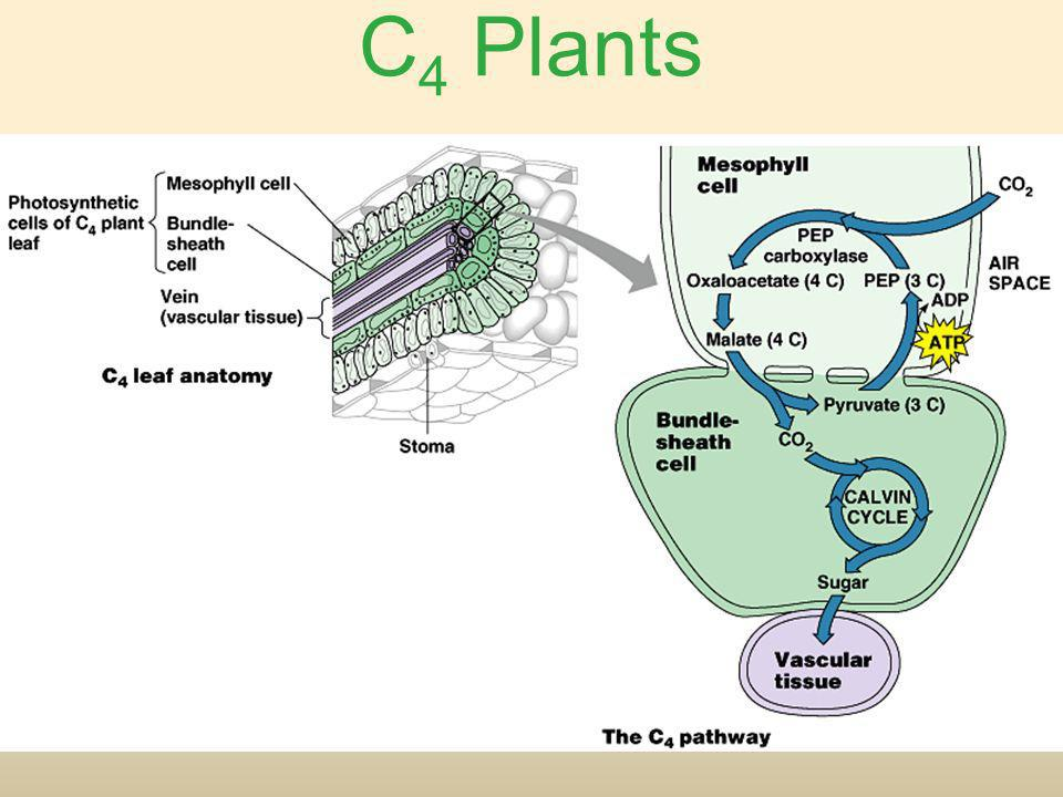 Nice Leaf Anatomy Of C3 Plants Adornment - Anatomy And Physiology ...