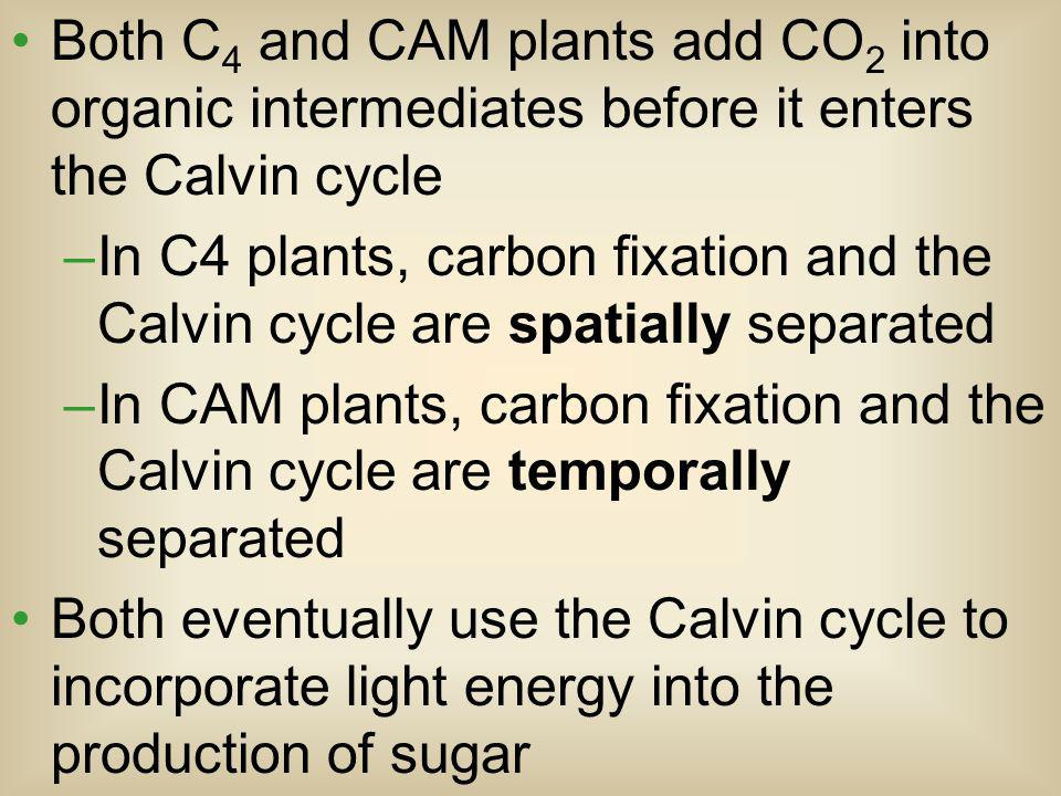 Both C4 and CAM plants add CO2 into organic intermediates before it enters the Calvin cycle