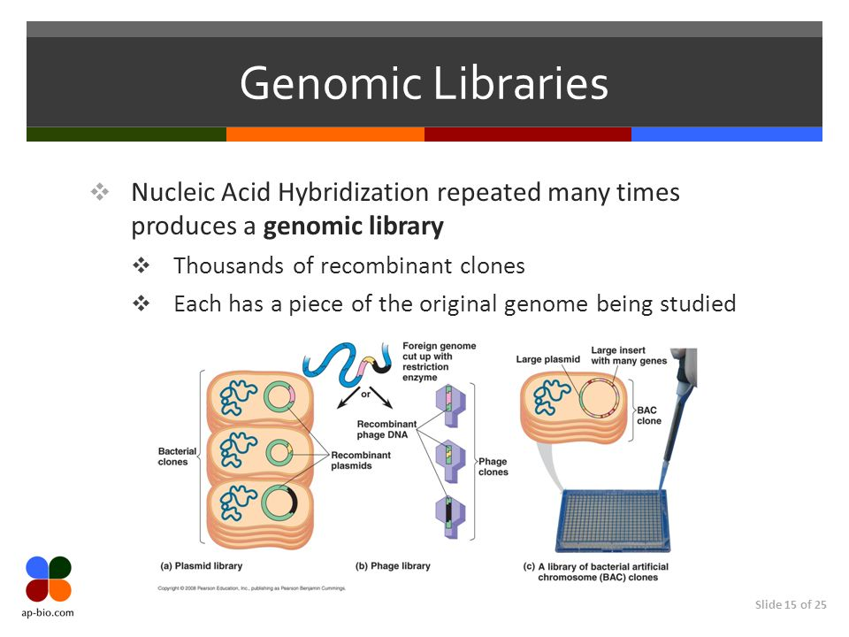 Genomic Libraries Nucleic Acid Hybridization repeated many times produces a genomic library. Thousands of recombinant clones.