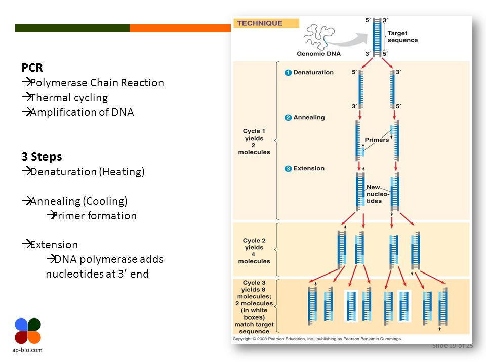 PCR 3 Steps Polymerase Chain Reaction Thermal cycling