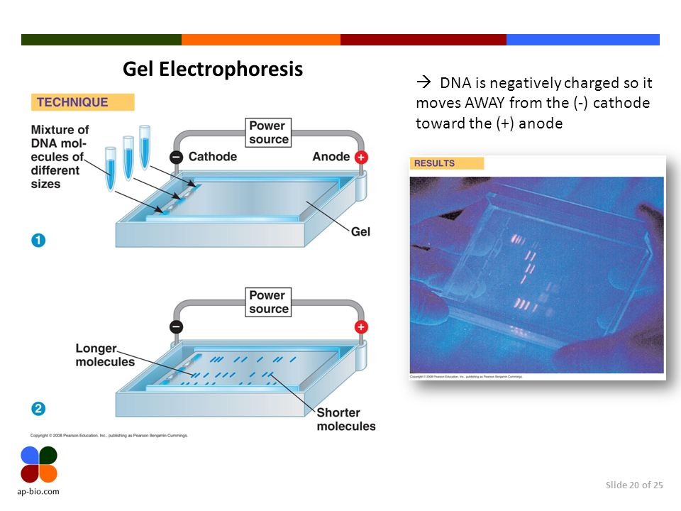 Gel Electrophoresis  DNA is negatively charged so it moves AWAY from the (-) cathode toward the (+) anode.