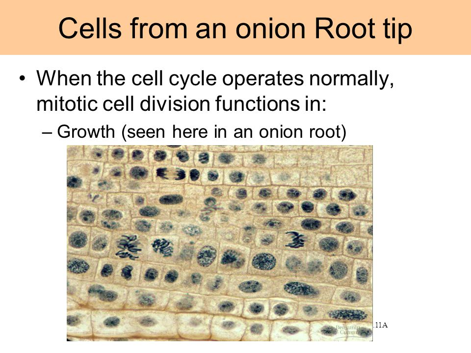 Cells from an onion Root tip