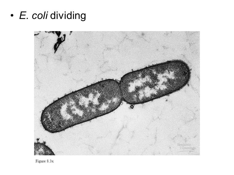 E. coli dividing Figure 8.3x
