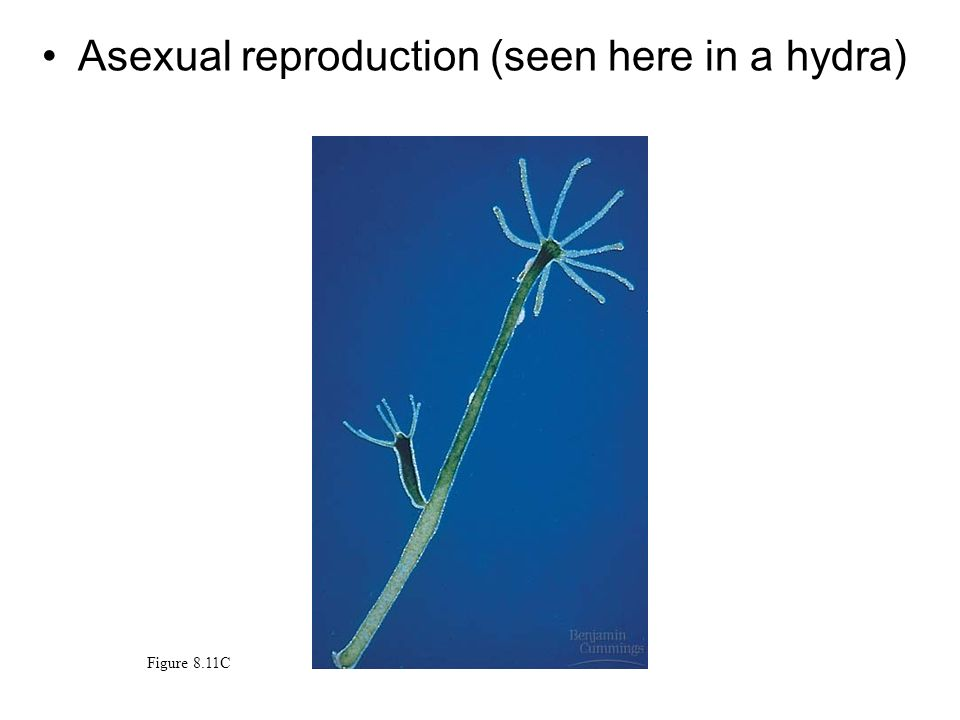 Asexual reproduction (seen here in a hydra)