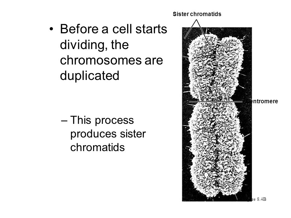 Before a cell starts dividing, the chromosomes are duplicated