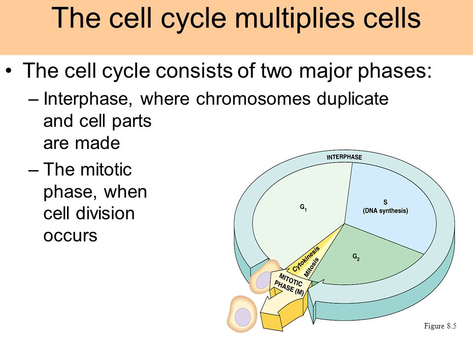 The cell cycle multiplies cells