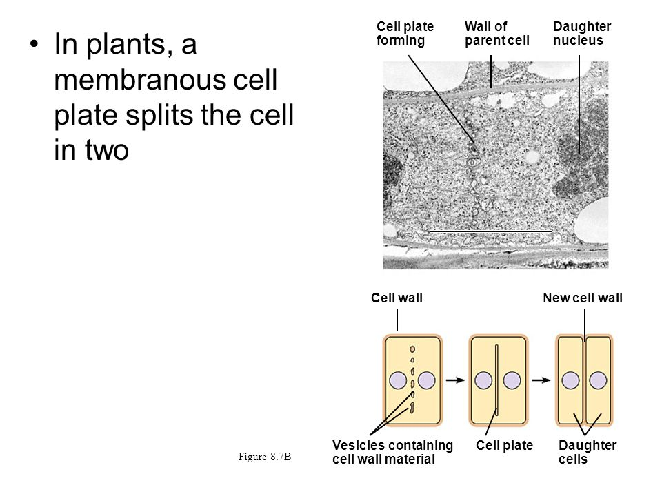 In plants, a membranous cell plate splits the cell in two