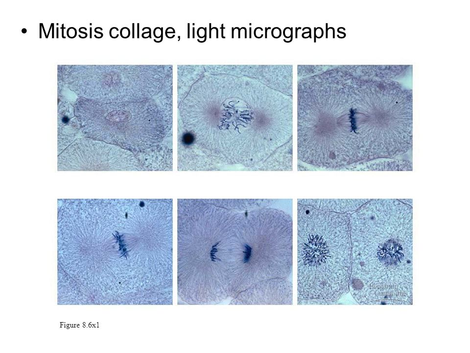 Mitosis collage, light micrographs