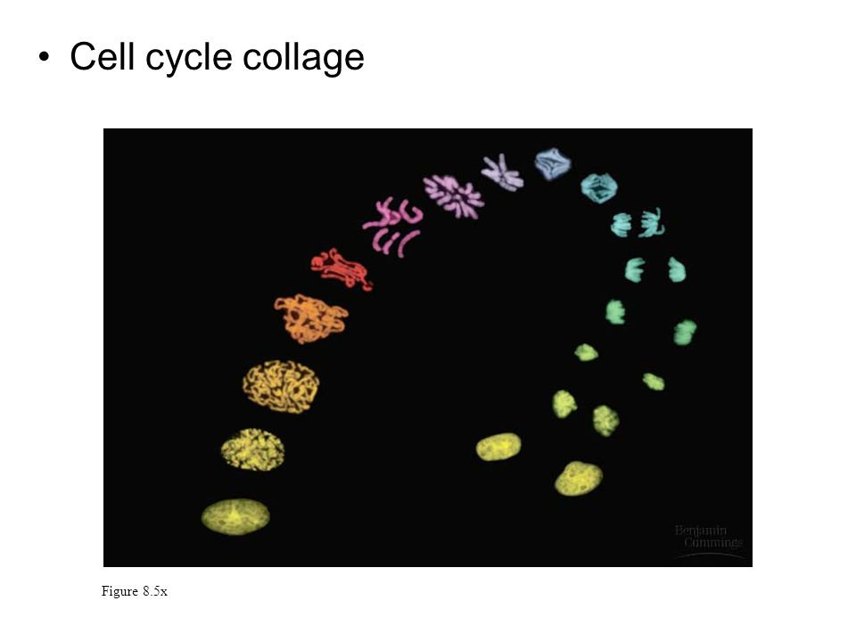 Cell cycle collage Figure 8.5x