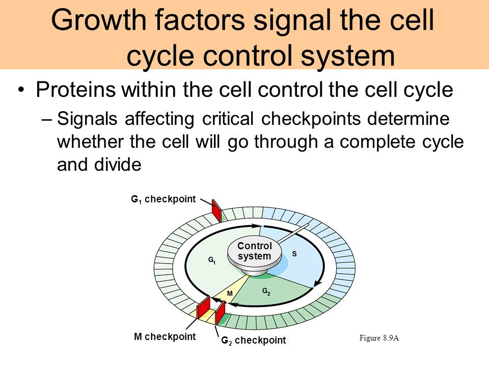 Growth factors signal the cell cycle control system