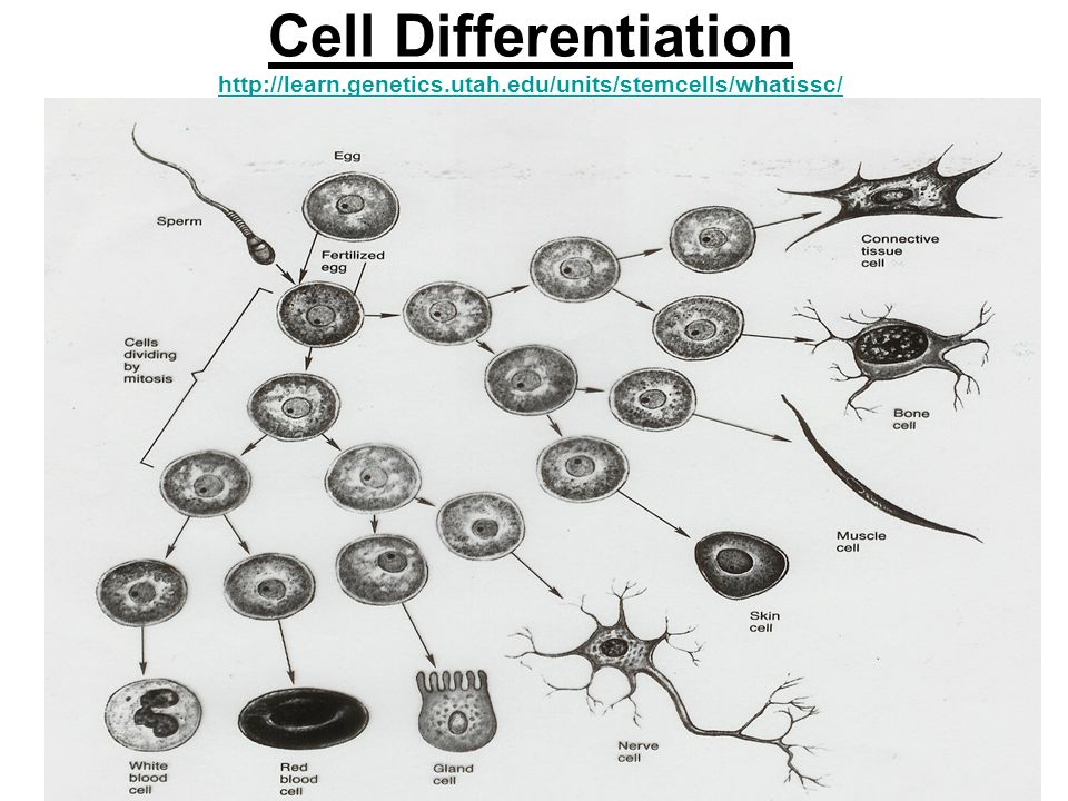 Cell Differentiation http://learn. genetics. utah