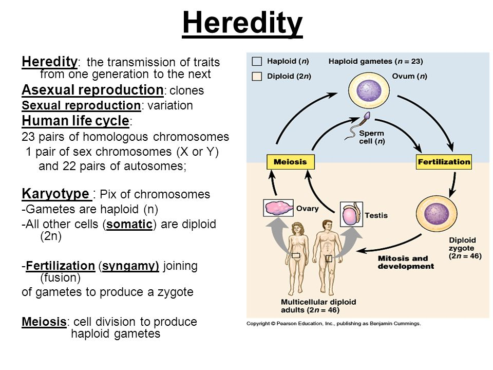 Heredity Heredity: the transmission of traits from one generation to the next. Asexual reproduction: clones.