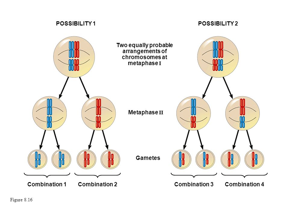 Two equally probable arrangements of chromosomes at metaphase I