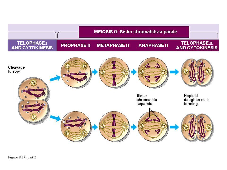 MEIOSIS II: Sister chromatids separate