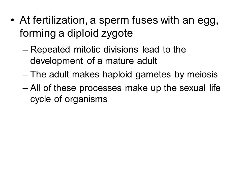 At fertilization, a sperm fuses with an egg, forming a diploid zygote