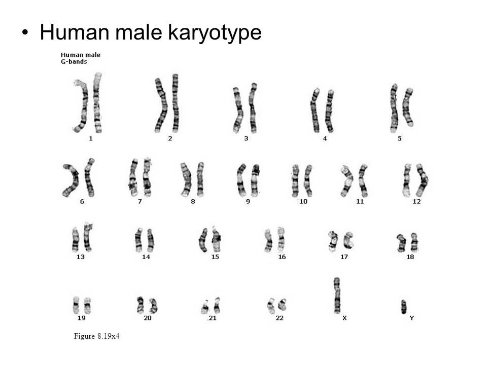 Human male karyotype Figure 8.19x4