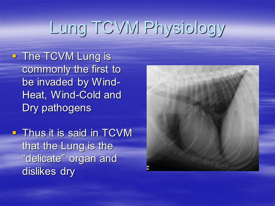Lung TCVM Physiology The TCVM Lung is commonly the first to be invaded by Wind-Heat, Wind-Cold and Dry pathogens.