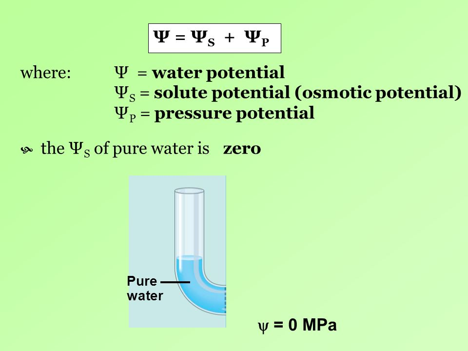 where: Ψ = water potential ΨS = solute potential (osmotic potential)