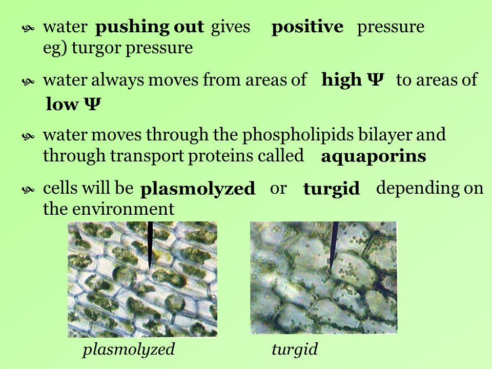 water gives pressure eg) turgor pressure pushing out positive