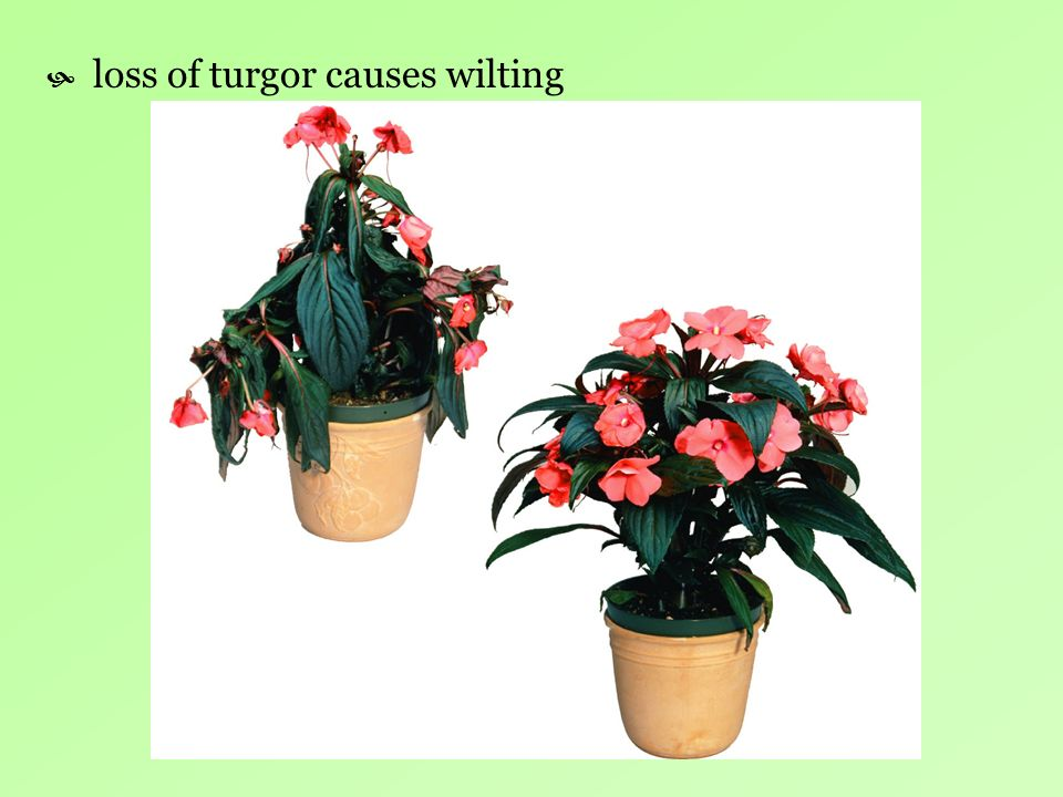 loss of turgor causes wilting