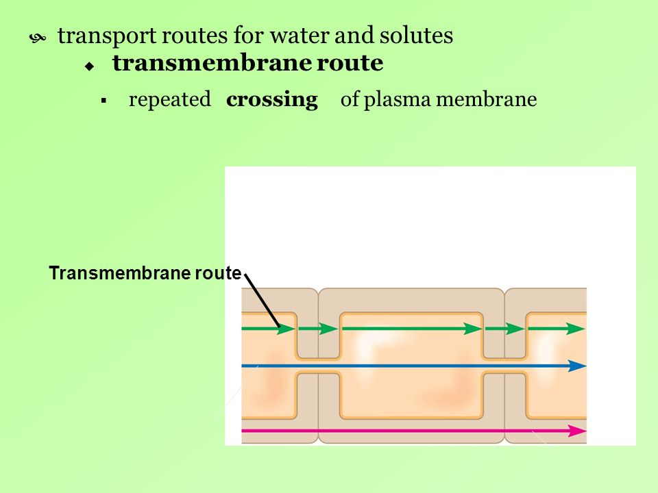 transport routes for water and solutes transmembrane route