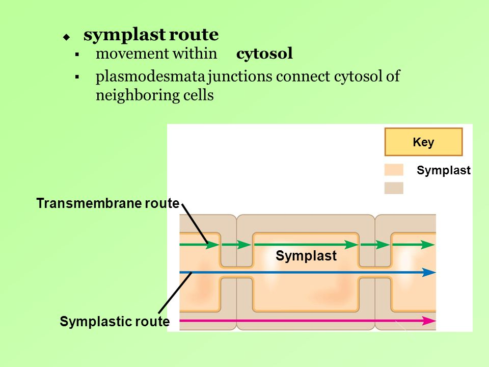 symplast route movement within cytosol