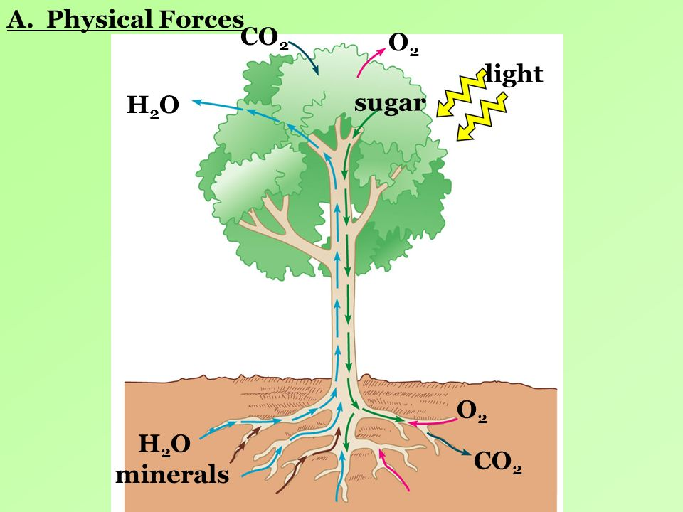 A. Physical Forces CO2 O2 light H2O sugar O2 H2O CO2 minerals