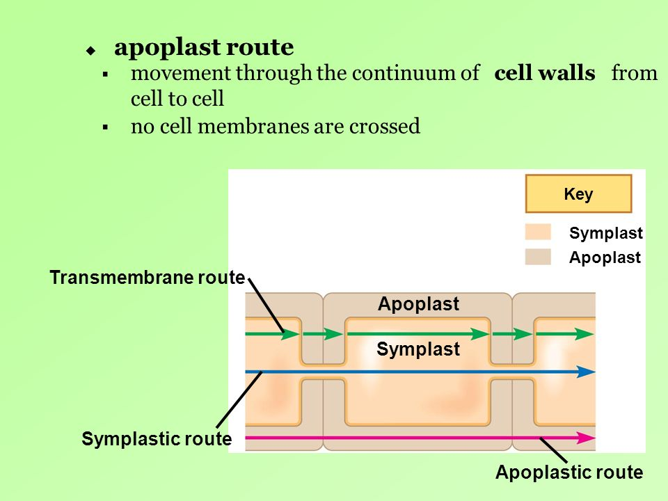apoplast route movement through the continuum of from cell to cell