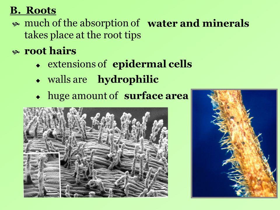 B. Roots much of the absorption of takes place at the root tips.