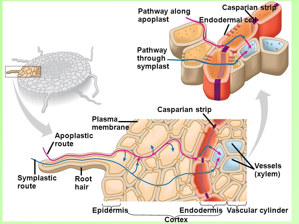 Casparian strip Pathway along. apoplast. Endodermal cell. Pathway. through. symplast. Casparian strip.