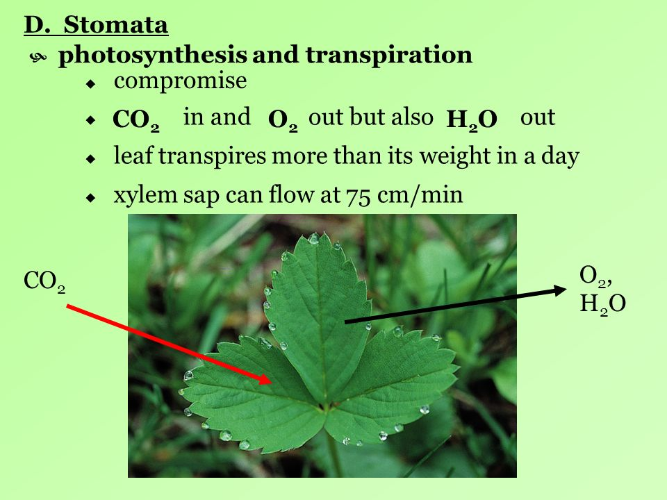 D. Stomata photosynthesis and transpiration. compromise. in and out but also out.