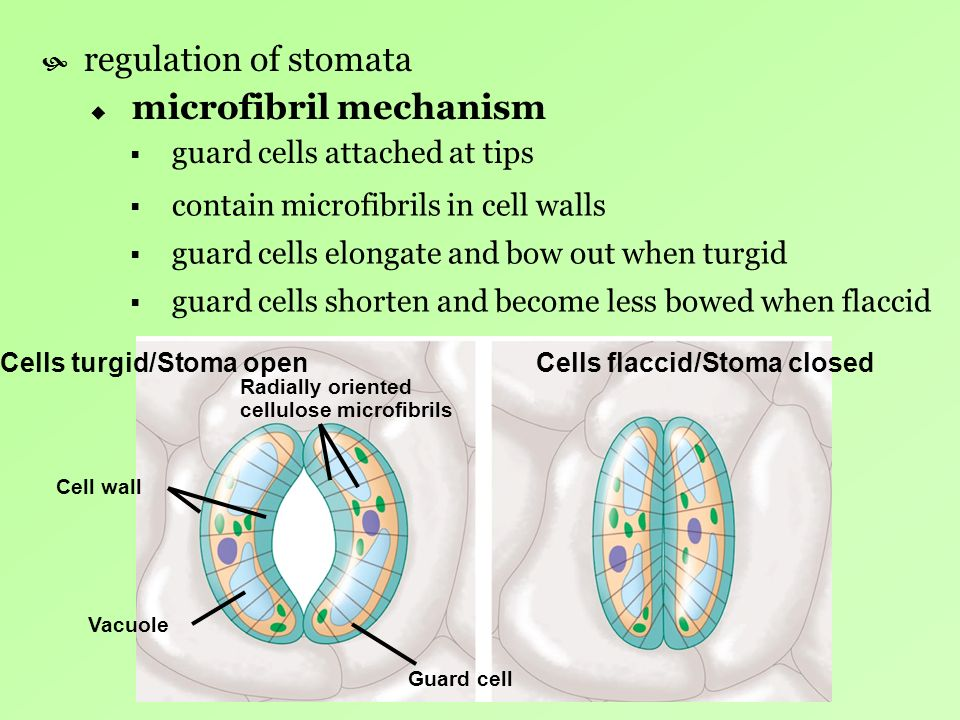 microfibril mechanism