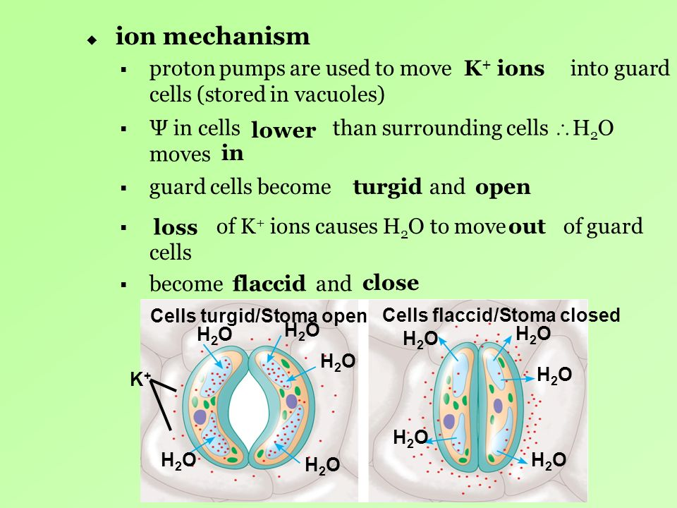 ion mechanism proton pumps are used to move into guard cells (stored in vacuoles)
