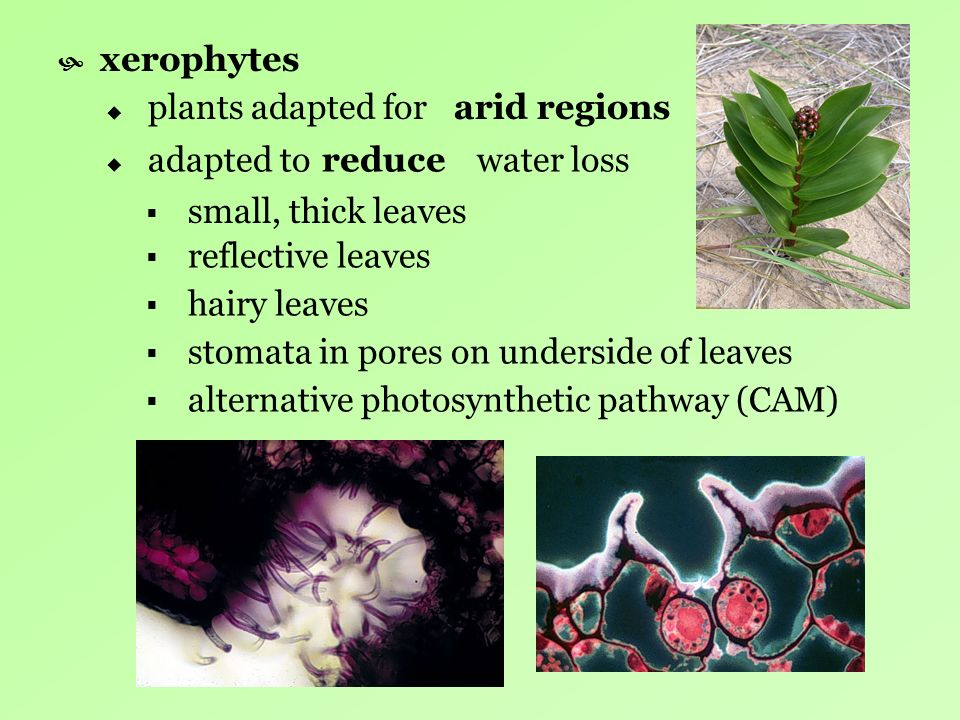 xerophytes plants adapted for. arid regions. adapted to water loss. reduce. small, thick leaves.