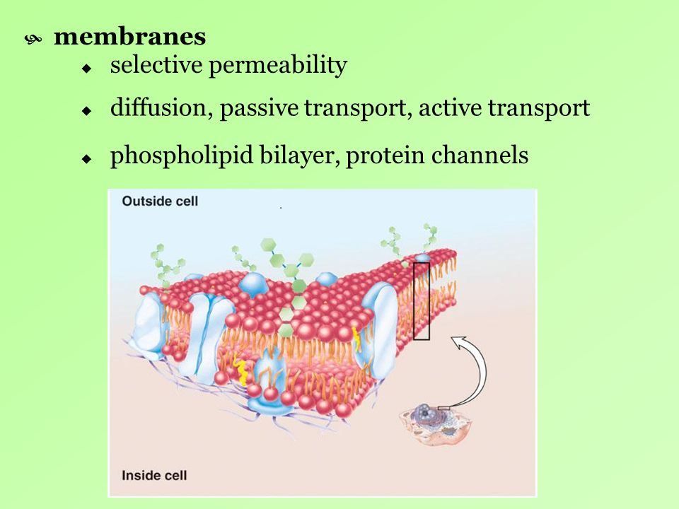 membranes selective permeability. diffusion, passive transport, active transport.